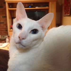 Death Pet Loss Siamese white cat